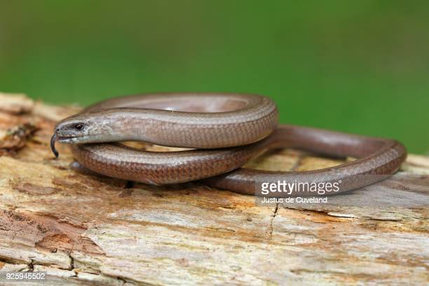 slow worm (anguis fragilis) with darting tongue perched on tree trunk, schleswig-holstein, germany - orvet photos et images de collection