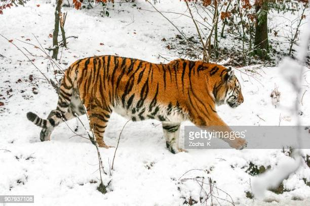 slowly walking siberian tiger at snow - siberian tiger stock pictures, royalty-free photos & images