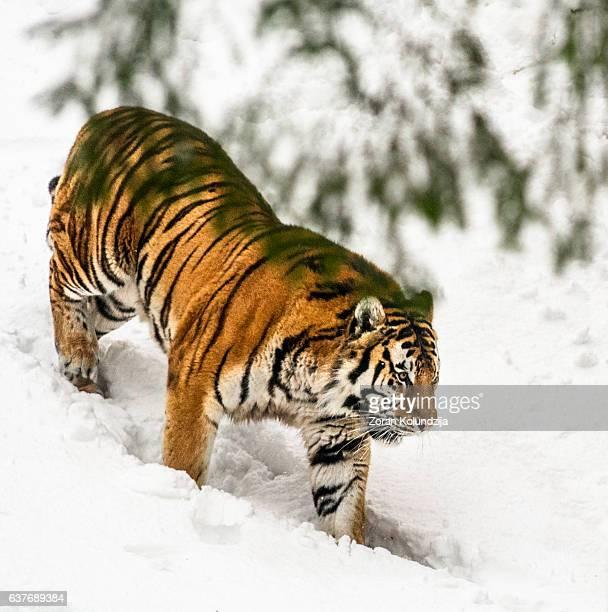 Slowly walking Siberian tiger in snow