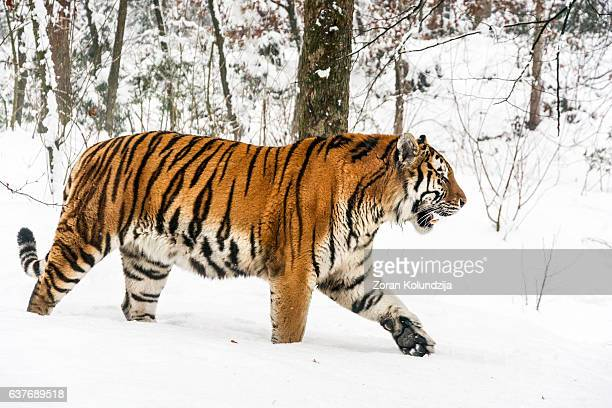 Slowly walking Siberian tiger in snow