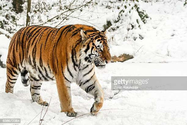 slowly walking siberian tiger in snow - siberian tiger stock pictures, royalty-free photos & images