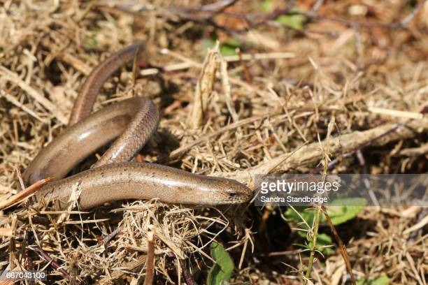 a slow-worm (anguis fragilis) hunting for food in the undergrowth. - orvet photos et images de collection