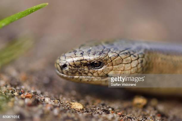 slow-worm or blindworm, anguis fragilis - orvet photos et images de collection
