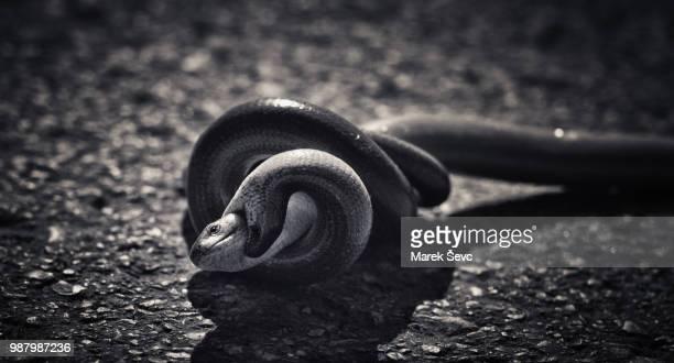 slowworms intercourse