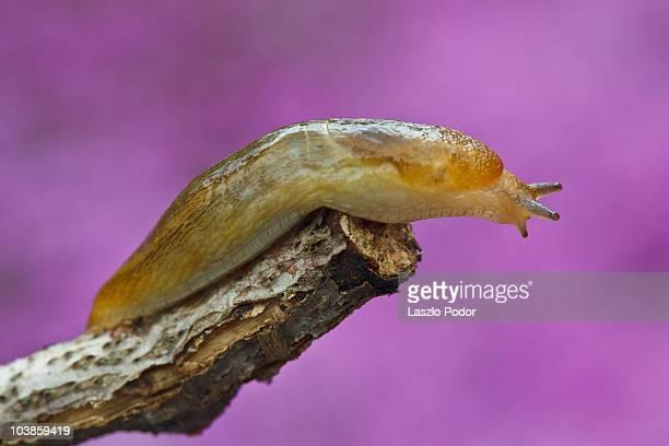 slug above the thyme carpet - limace photos et images de collection