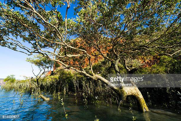 the sprawling canopy of a mangrove tree on a desert island. - rock overhang stock photos and pictures