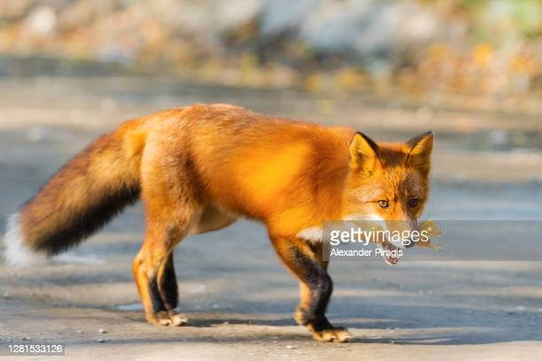 sly red fox running on country road with food in mouth - fuchspfote stock-fotos und bilder