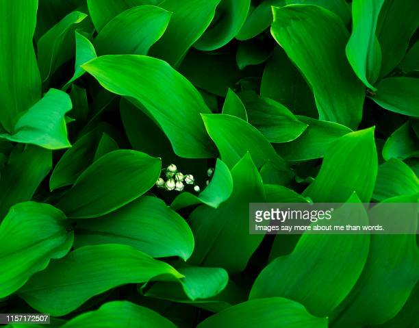 a smal bouquet of lily-of-the valley surrounded by a beaitiful lef formation. close up. - bouquet de muguet fotografías e imágenes de stock