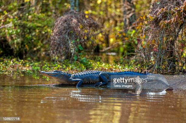 small alligator in honey island swamp - louisiana stock photos and pictures