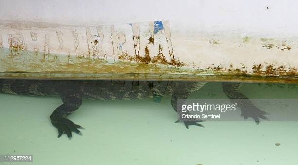 A small alligator takes shelter under a display in a pond at Gatorland after a fire destroyed the gift shop in Orlando Florida Monday November 6 2006