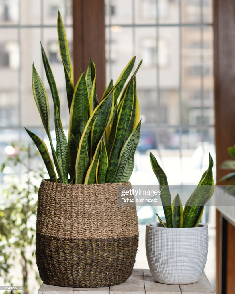 Small and big Sansevieria, Dracaena trifasciata in the pot : Stock Photo