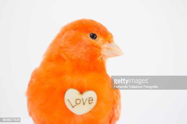 Small and red bird with heart shaped symbol love