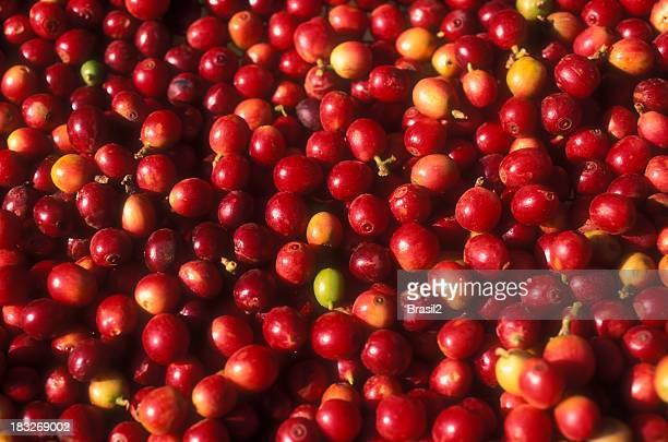 Small and red coffee tree fruits