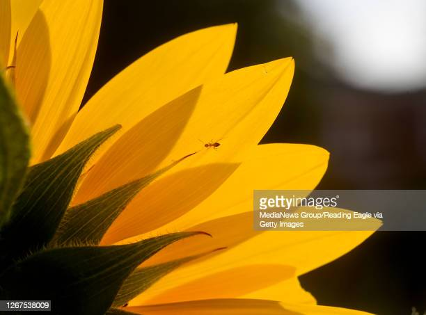 A small ant walks across a sunflower flower blossom backlit with sunlight in West Reading PA Friday morning August 21 2020