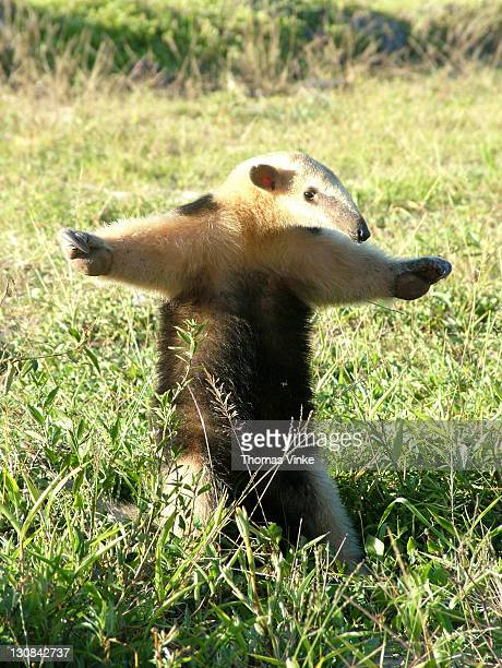 small anteater (tamandua tetradactyla) defending itself, gran chaco, paraguay - tamandua anteater stock pictures, royalty-free photos & images