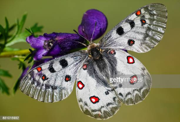 small apollo butterfly - greek god stock pictures, royalty-free photos & images