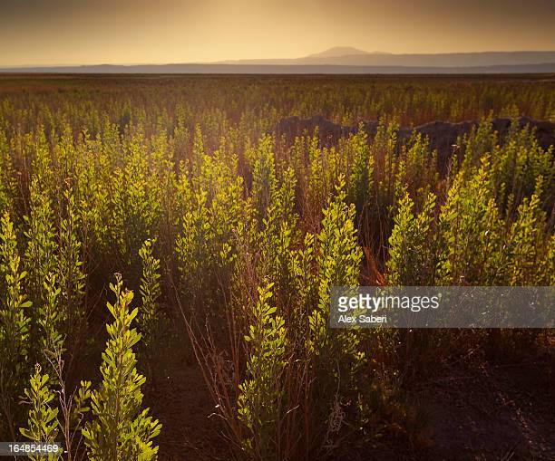 a small area of green vegetation in the atacama desert at sunset. - alex saberi 個照片及圖片檔