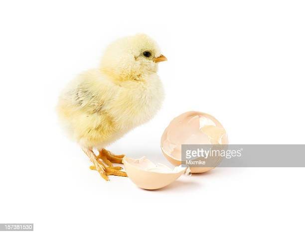 A small baby chick and its old home