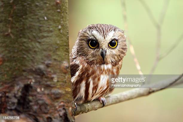 Small baby owl