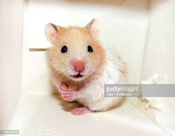 Small baby Syrian hamster in a box