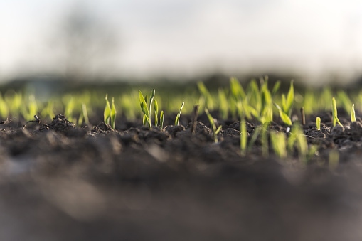 Small barley sprouts coming up from the earth - gettyimageskorea