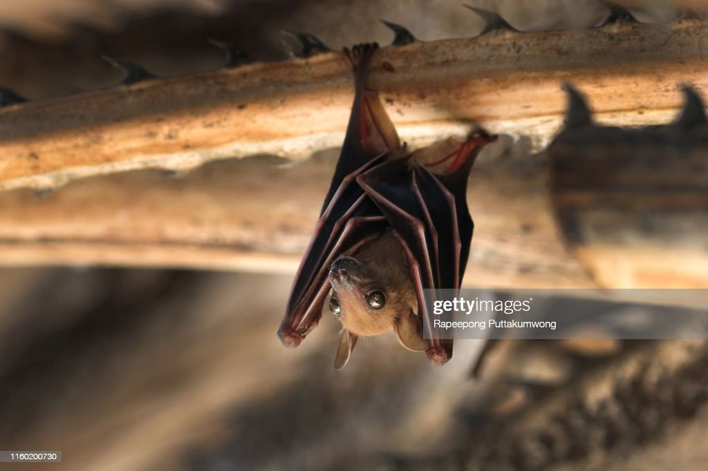 Small bat hanging on the tree : Stock Photo