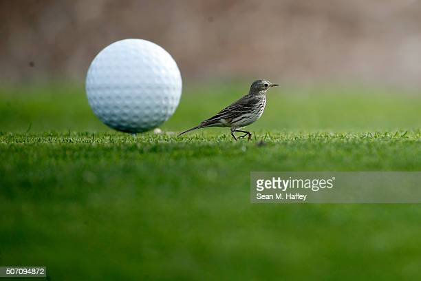 A small bird lands on the 17th tee during the Farmers Insurance Open Zurich ProAm at Torrey Pines North on January 27 2016 in San Diego California