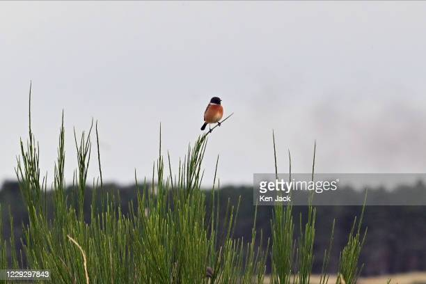 Small bird perches on some broom at St Cyrus National Nature Reserve, on October 26, 2020 in St Cyrus, Scotland.
