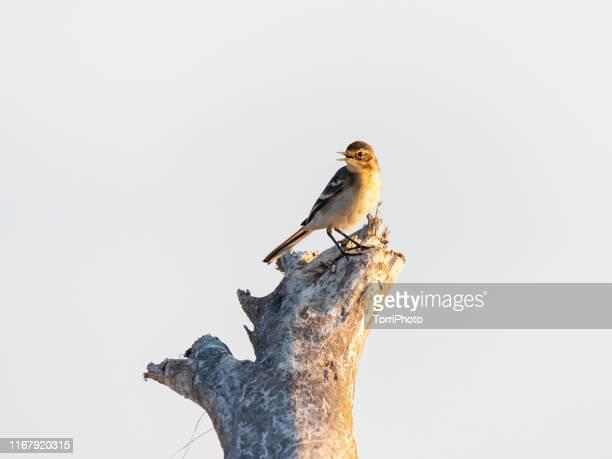 small bird perching on tree log - セキレイ ストックフォトと画像