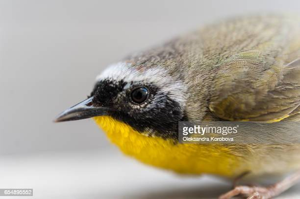 Small bird with yellow feathers on its chest.