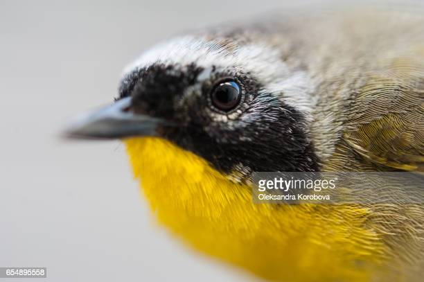 small bird with yellow feathers on its chest. - istock stock-fotos und bilder
