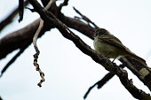 http://www.istockphoto.com/photo/small-birds-big-effects-cute-white-crested-tyrannulet-among-dry-branches-gm892968610-247084889