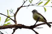 http://www.istockphoto.com/photo/small-birds-big-effects-cute-white-crested-tyrannulet-among-dry-branches-gm892968642-247084894