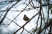 http://www.istockphoto.com/photo/small-birds-big-effects-cute-white-crested-tyrannulet-among-dry-branches-gm892973168-247084941