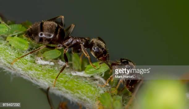 Small Black Ant (lasius niger)