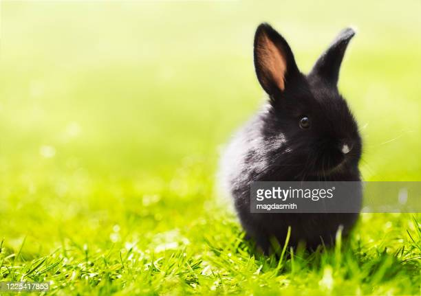 small black rabbit sitting in grass - magdasmith stock pictures, royalty-free photos & images