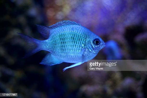small blue fish - underwater stock pictures, royalty-free photos & images