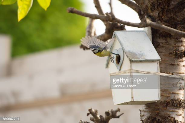 small bluetit bird flying out of a bird house attached to a tree - birdhouse stock photos and pictures