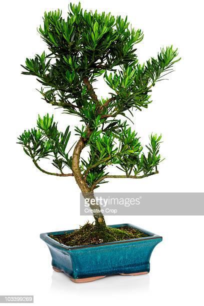 Small bonsai tree in pot