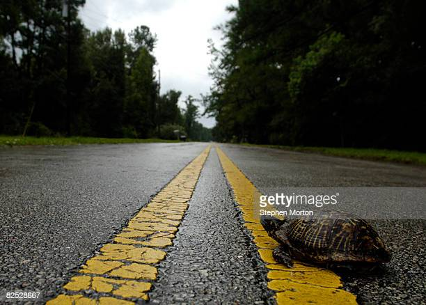 A small box turtle crosses the road after flood waters from Tropical Storm Fay dispersed August 23 2008 in Jacksonville Florida Residents of the area...