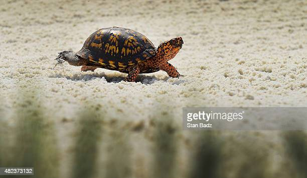 A small box turtle exits from a bunker on the 13th hole during the first round of the Quicken Loans National at Robert Trent Jones Golf Course on...