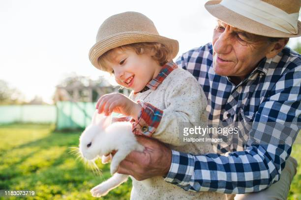 small boy with senior grandfather outdoors on farm, holding rabbit. - rabbit animal stock pictures, royalty-free photos & images