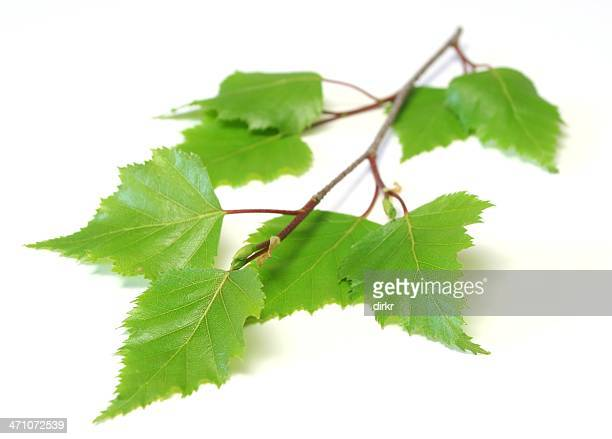 Small branch with birch leaves on a white background