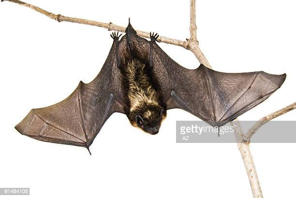 a small brown bat hanging upside down on a branch - mammal stock pictures, royalty-free photos & images