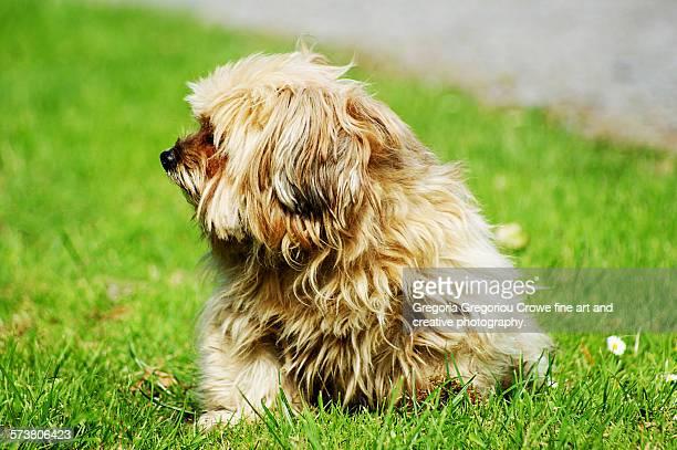 small brown dog - gregoria gregoriou crowe fine art and creative photography ストックフォトと画像