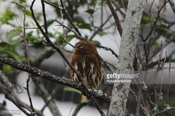 small brown owl looking out tree