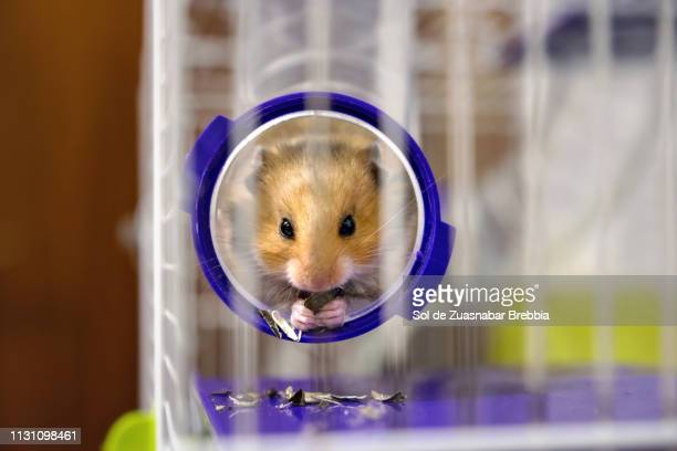 Small brown Syrian hamster eating seeds sticking out from a tube