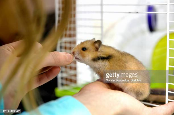 small brown syrian hamster emerging from his cage in search of the hand of a girl who offers him food - hamster stock pictures, royalty-free photos & images