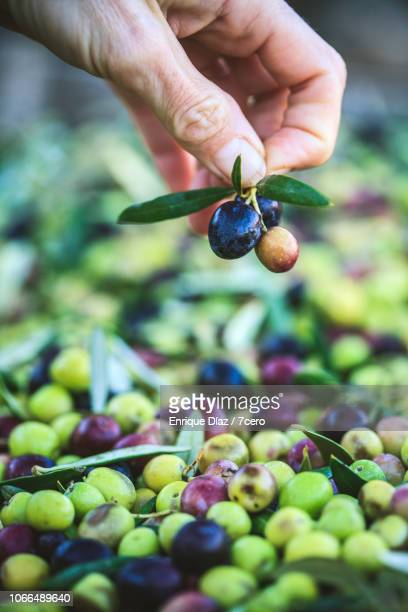 A small bunch of olives from a bin of Arbequina Olives