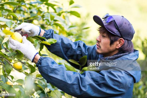 der inhaber eines kleinen unternehmens bauernhof kommissionierung zitronen an seinem zitrusfarm - landwirtschaftliche tätigkeit stock-fotos und bilder